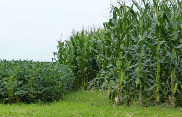 August_13_Beans_and_Corn