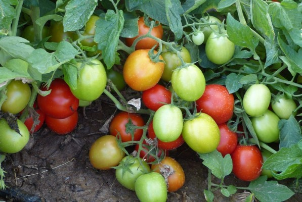 Howell Farms tomatoes