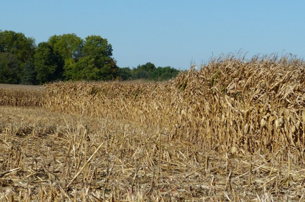 Harvested corn-13