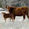 Cow Calf in Snow
