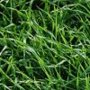 cereal-rye-cover-crop